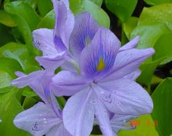 aquatic plant water hyacinth